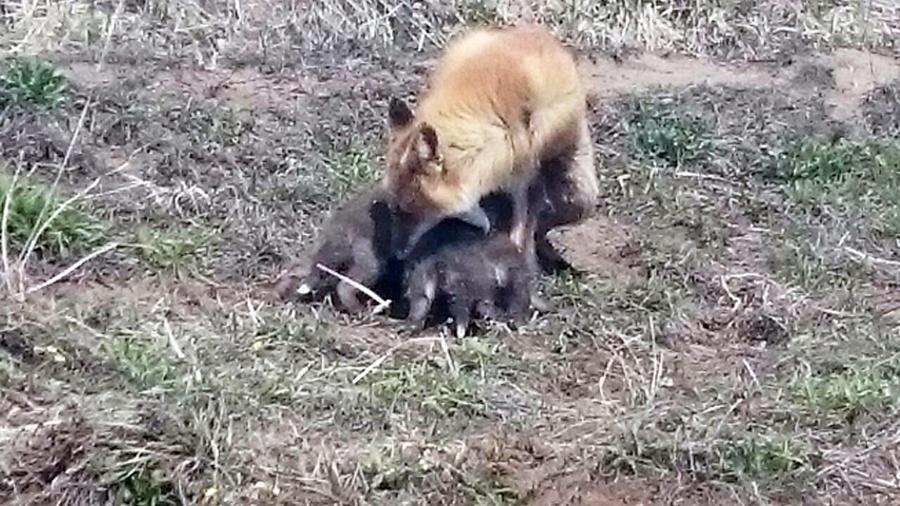 母キツネと子ギツネたち1