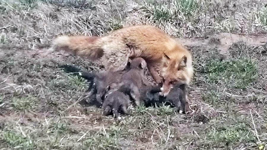母キツネと子ギツネたち2