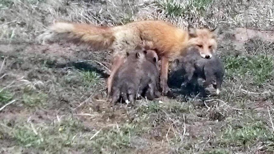 母キツネと子ギツネたち3