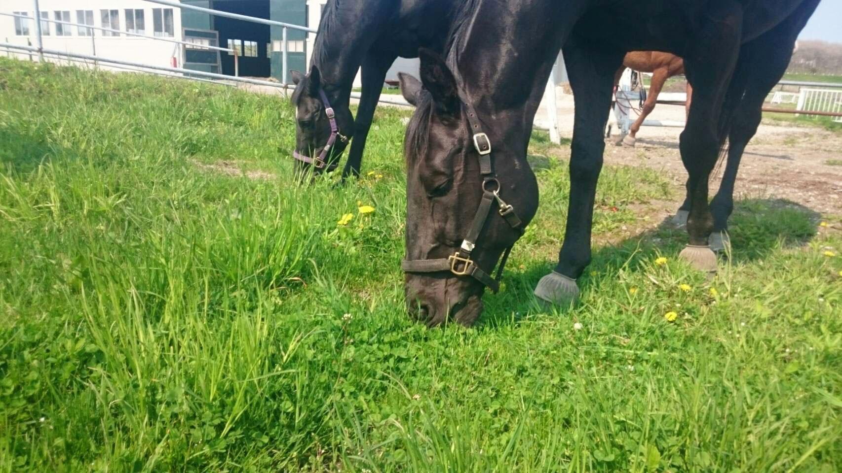 敷地内の草を食べてる馬達