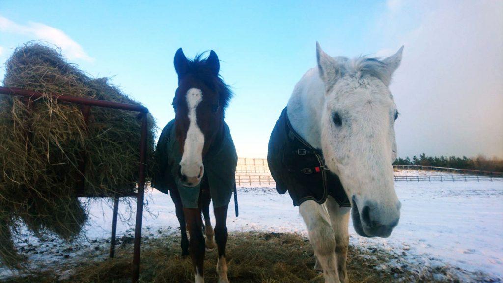放牧地の馬たち(冬)